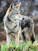 Coyote photo by Rebecca Richardson