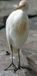 Cattle Egret image